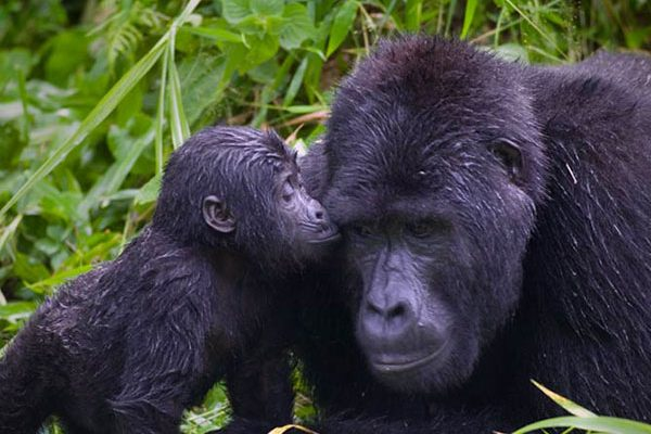 Uganda & Congo - Ruwenzori, Niragongo, Virunga, Trekking la Gorilele de Munte