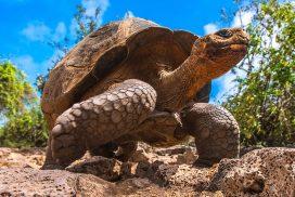 Giant_Turtle_Galapagos_Testoasa